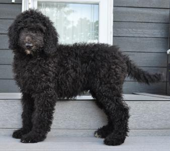 AvailablePoodles